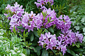 Rhododendron 'Catawbiense Grandiflorum' Ende Mai
