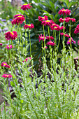 Feuermargerite 'Robinson's Red'