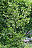 Schneeglöckchenbaum - Halesia carolina