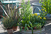 Heilpflanzen-Arrangement: Aloe vera, Brenngeleepflanze, Spitzwegerich, Einjähriger Beifuß, Arnika und Brahmi