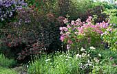 Blühendes Beet mit Strauchrose 'Mozart', Margeriten, Blasenspiere 'Diabolo' und Ramblerrose 'Veilchenblau'