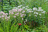 Spinnenblumen Senorita 'Carolina' und 'Blanca' im Beet