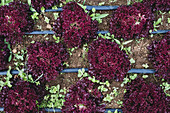 Rows of red leaf lettuce in a field