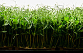 Side view of tightly packed pea seedlings growing in urban farm