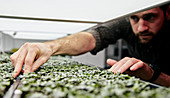 Man tending trays of microgreens in urban farm