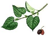 Black mulberry (Morus nigra), illustration