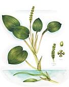 Broad-leaved pondweed (Potamogeton natans), illustration
