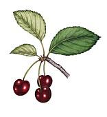 Cherry (Prunus avium) fruit with leaves, illustration