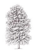 Common lime Tilia x europaea tree, illustration