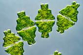 Euastrum humerosum desmid, light micrograph