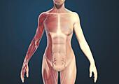 Female torso muscles, illustration