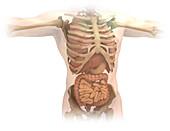 Human torso structure, illustration