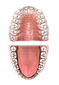 Teeth of the upper and lower jaw, illustration