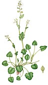 Common scurvy grass (Cochlearia officinalis), illustration