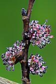 English elm (Ulmus procera) blossom