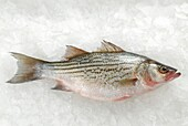 Grey mullet on ice