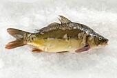 Fresh carp on ice