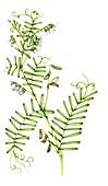 Hairy tare (Vicia hirstuta), illustration