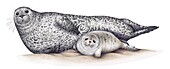 Harbour seal female and pup, illustration