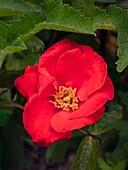 Rose (Rosa 'Orangeade')