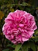 Rose (Rosa 'Cessa') flower