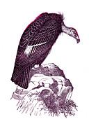 California condor, 19th century illustration