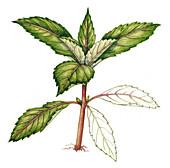 Himalayan balsam seedling, illustration