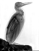 Common murre, X-ray