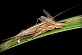 Mating crickets