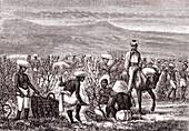 Harvesting coffee, 19th century illustration