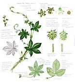 Japanese hop (Humulus japonica), illustration