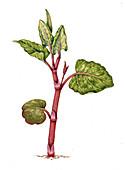 Japanese knotweed (Fallopia japonica) seedling, illustration