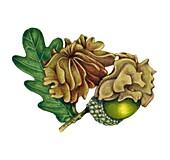 Knopper gall on common oak (Quercus robur), illustration