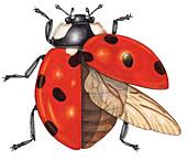 Ladybird, illustration