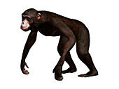 Dryopithecus extinct ape, illustration