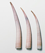 European tusk shells