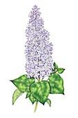 Lilac (Syringa vulgaris) flowering spike, illustration