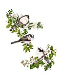 Long-tailed tits on hawthorn blossom, illustration