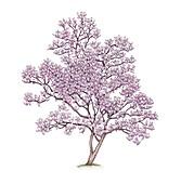 Southern magnolia (Magnolia grandiflora) tree, illustration