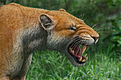 Snarling Xenosmilus sabre-toothed cat, illustration