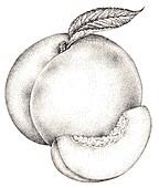 Peach (Prunus persica), illustration