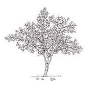 Peach (Prunus persica) tree, illustration