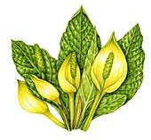 Skunk cabbage (Lysichiton americanus), illustration