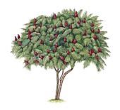 Staghorn sumac (Rhus typhina), illustration