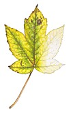 Sycamore maple (Acer pseudoplatanus) leaf, illustration