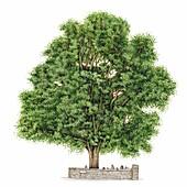 Sycamore tree (Acer pseudoplatanus), illustration