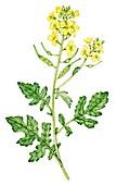 White mustard (Sinapis alba), illustration