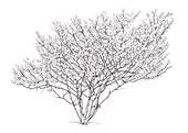 Witch hazel (Hamamelis virginiana) tree, illustration