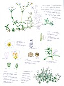 Snow-in-summer (Cerastium tomentosum), illustration