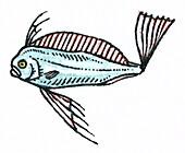 Adolescent dealfish, illustration